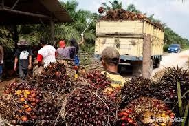 Palm Oil Harvesting